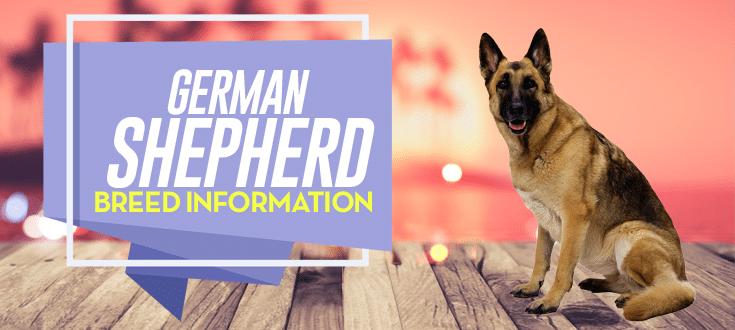 german shepherd breed information