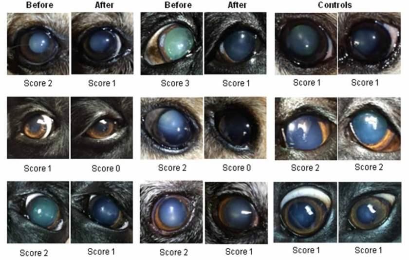 Eyebright For Dogs Eyes