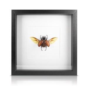 scarabée de collection