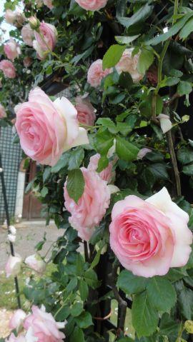 20170602 roseraie vdm 09