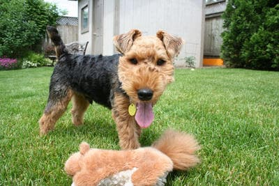 Image result for The Welsh Terrier