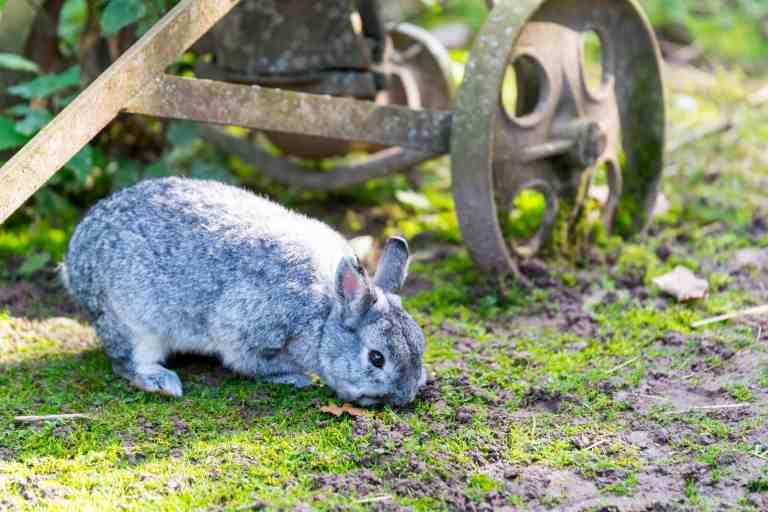 Kaninchen neben altem Bauernhofgerät