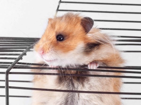 Syrian Hamster trying to escape from the cage