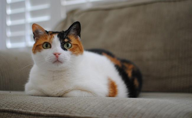 200+ Best Calico Cat Names With Meanings - Petmoo