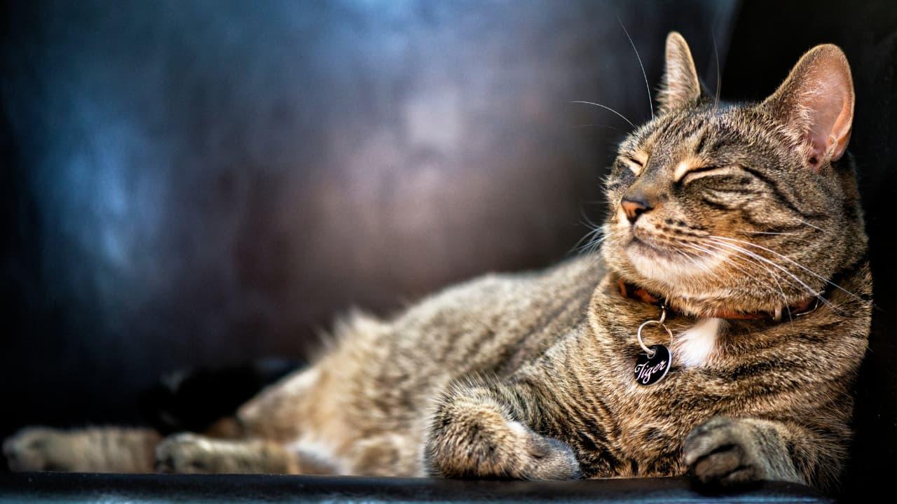 İsimli Kedi Künyesi Modelleri