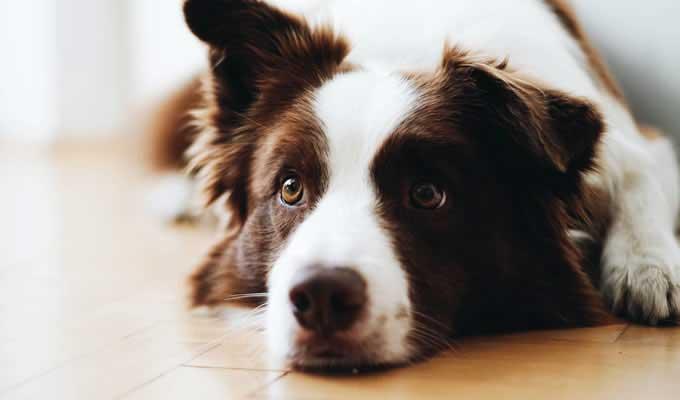 Border Collie a legokosabb kutya a világon