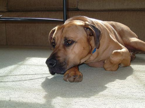 Blackmouth Cur Information Health Pictures Amp Training