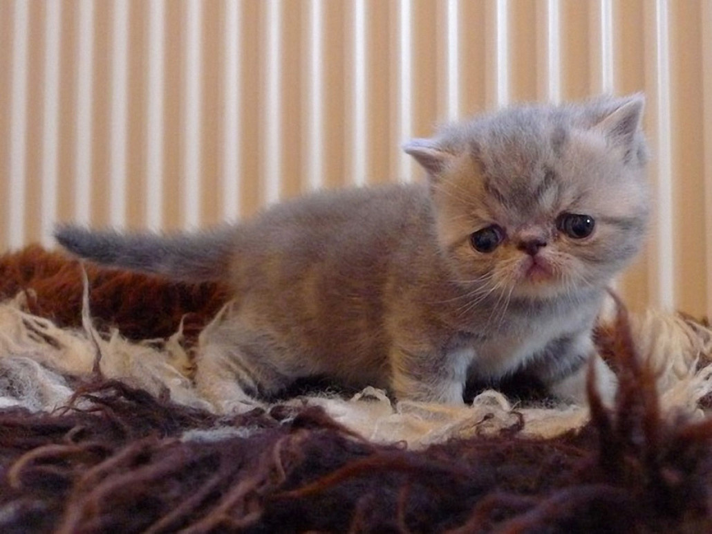 Exotic Shorthair Information Health Pictures