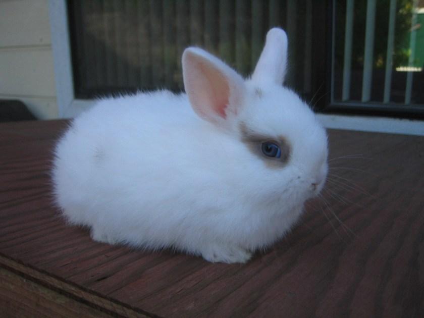 kelinci mini rex putih