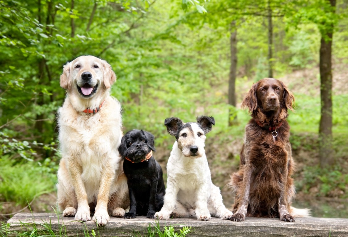 Evolution Of Dogs History Of Dogs Petplan