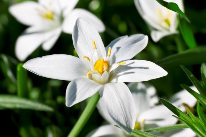 star of bethlehem flower  flower, Natural flower