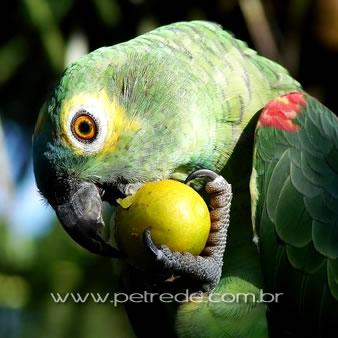 papagaio-comendo-fruta-petrede