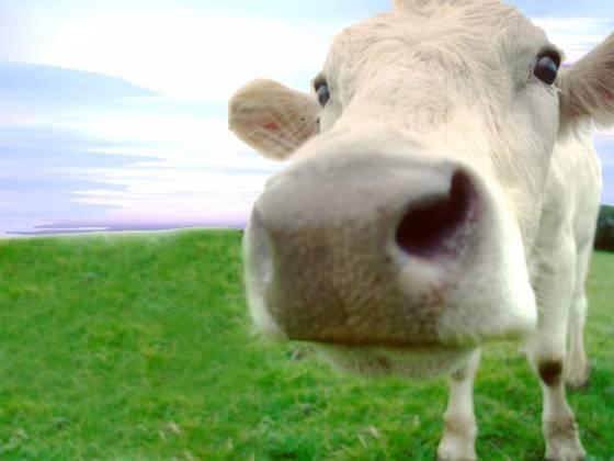 Vacas que têm nome dão mais leite, dizem pesquisadores