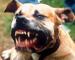 Seria perseguição ou má criação? A polêmica dos pit bulls