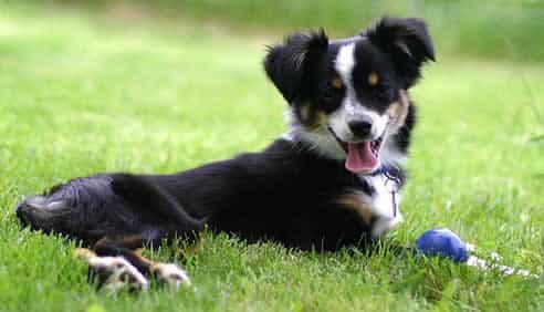 cachorro-na-grama-brincando