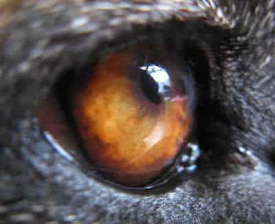 petrede-olho-de-cachorro