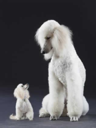 Cães maiores são mais inteligentes, diz estudo