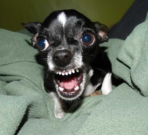 O Doberman e o Chihuahua