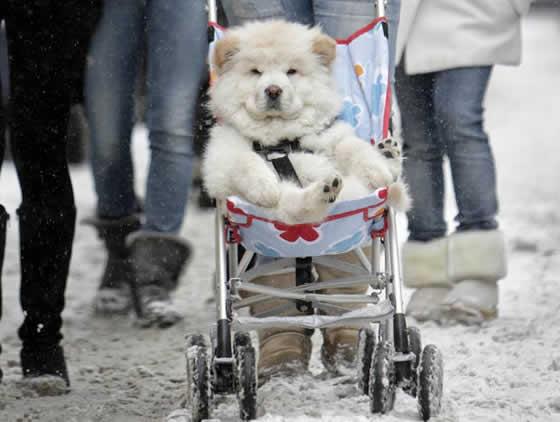 Fotógrafo flagra cão sendo transportado em carrinho de bebê