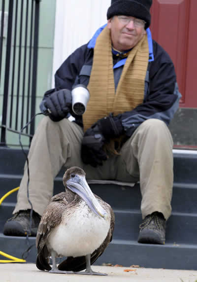 Americano aquece pelicano com frio com secador de cabelo