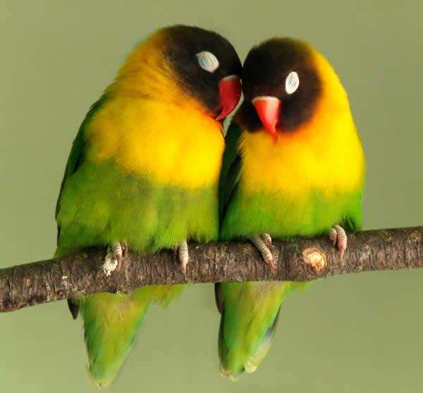 casal-de-agapornis-love-birds-petrede