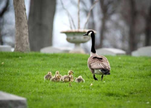 Veado é flagrado protegendo ninho de gansa em cemitério nos EUA