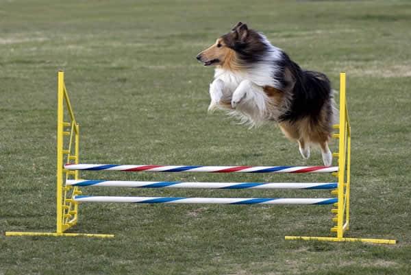 Agility ajuda a conhecer melhor o cão