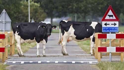 Holanda instala faixa para passagem de vacas