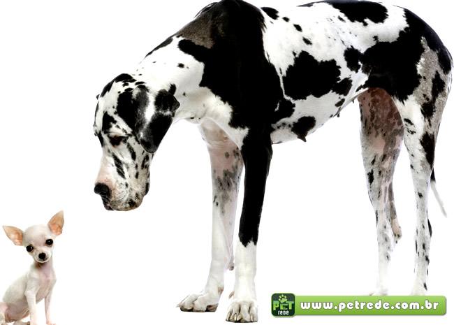 cachorro-grande-gigante-pequeno-diferenca-tamanho-petrede