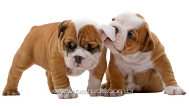 filhote-cachorro-bulldog-petrede