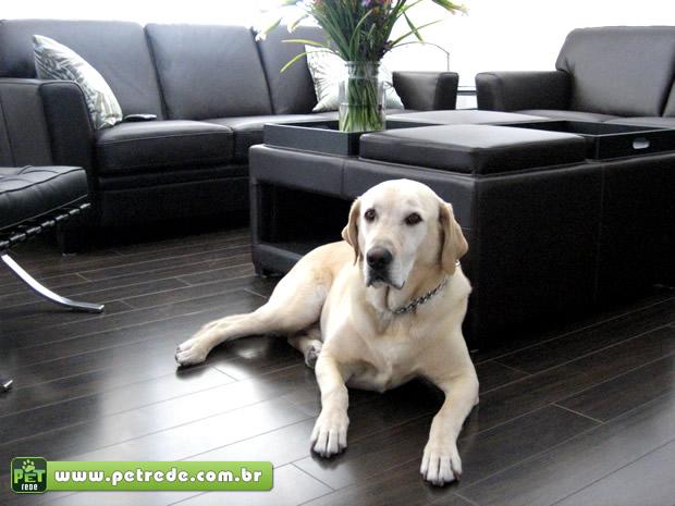 cachorro-labrador-sala-moveis-sofa-apartamento-petrede