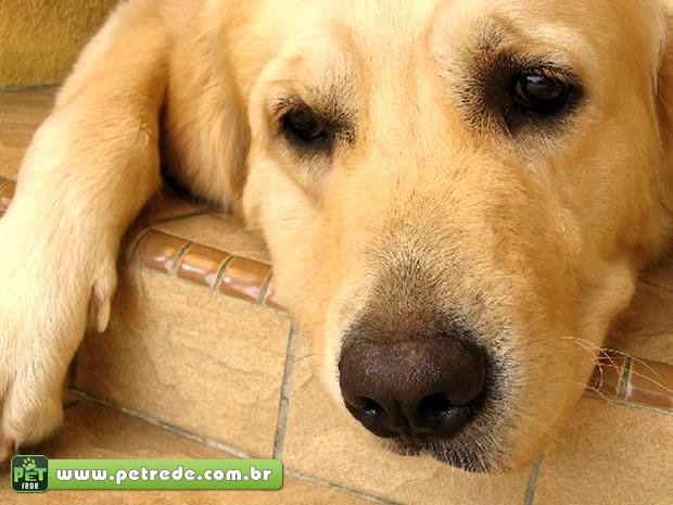 Reação triste de cães é consequência da bronca do dono, segundo pesquisa
