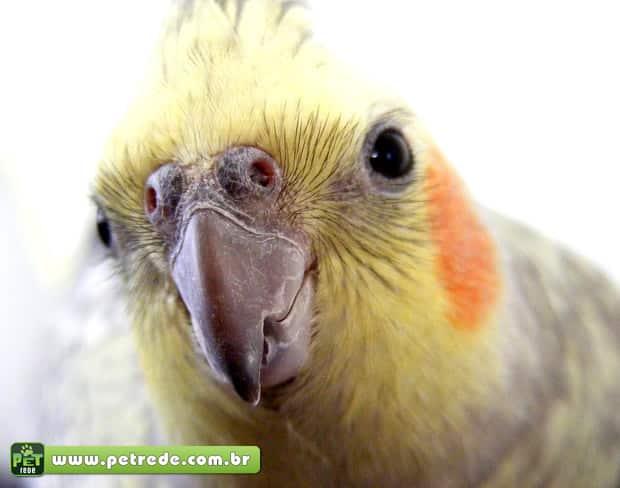 Calopsita – aprenda a lidar com esta ave