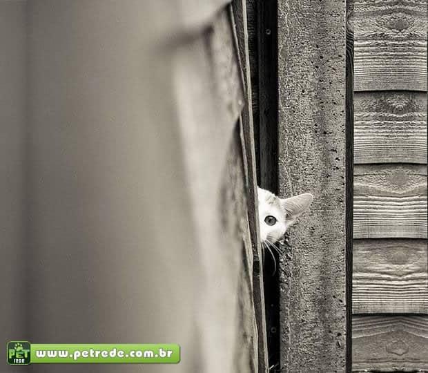 gato-espiando-olhando-escondido-petrede