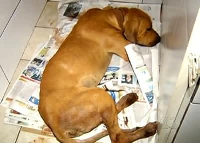 Tutor de cão é detido por castrar animal sem cuidado clínico