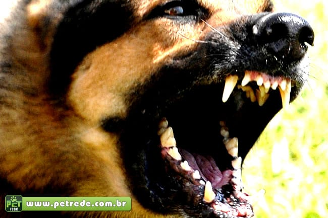 cachorro-pastor-ataque-feroz-mordida-petrede