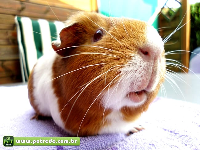 porquinho-da-india-guinea-pig-close-petrede