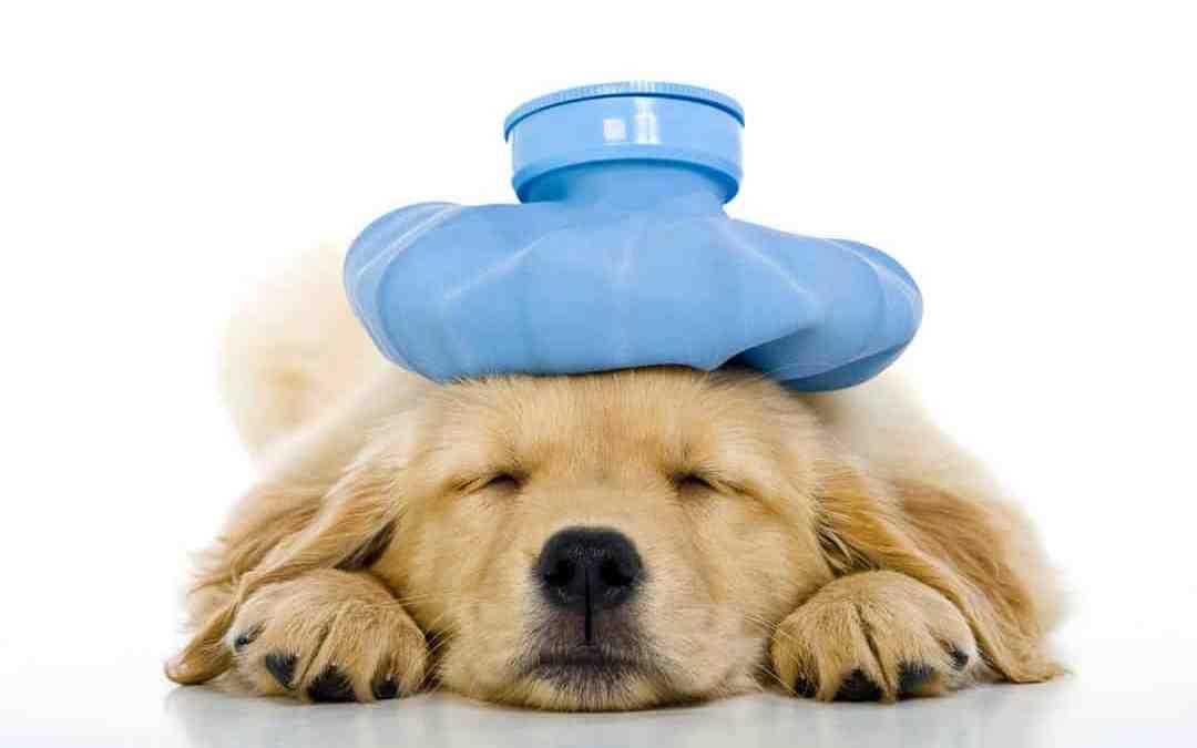Vacinação é a melhor forma de prevenir a hepatite em cães