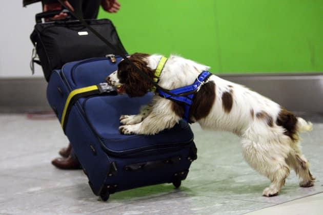 Cachorro relaciona o cheiro da droga com brinquedo