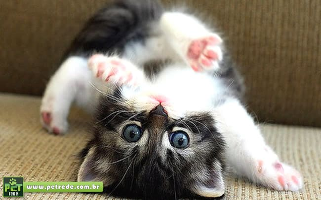 Saiba quais os cuidados para se ter um filhote de gato