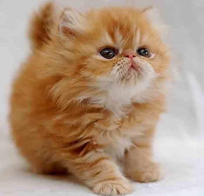 PKD ou Doença Renal Policística (DRP) em gatos persas