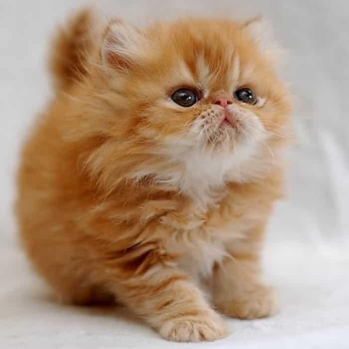 filhote-gato-persa-petrede