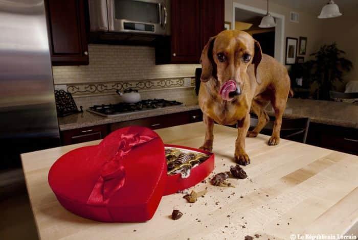 Chocolate pode provocar danos à saúde dos animais e até levar à morte