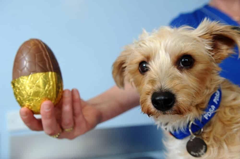 Chocolate pode fazer mal ao cachorro. Veja opções de petisco para a Páscoa
