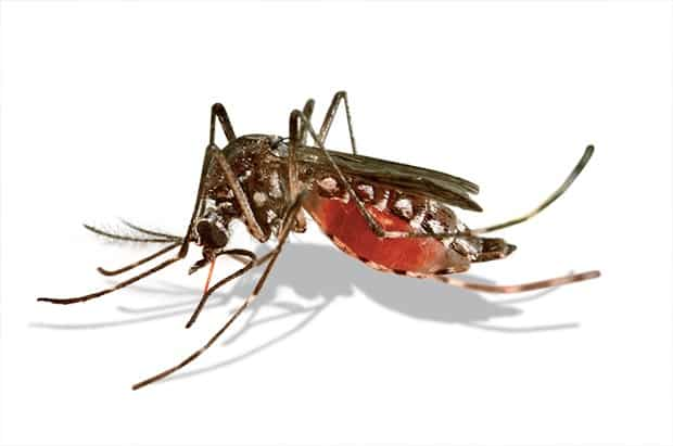 mosquito-aedes-aegypti--dengue-zika-petrede