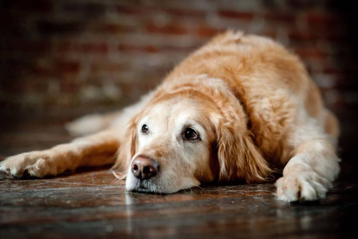 Dicas para cuidar de cães idosos