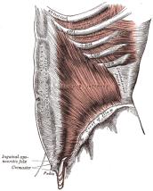 notranja poševna trebušna mišica