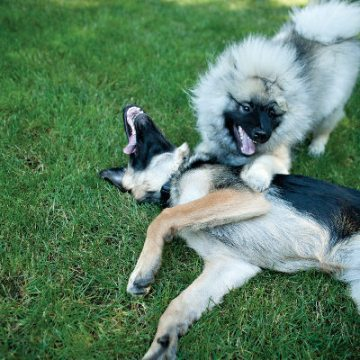 dogs barking while playing