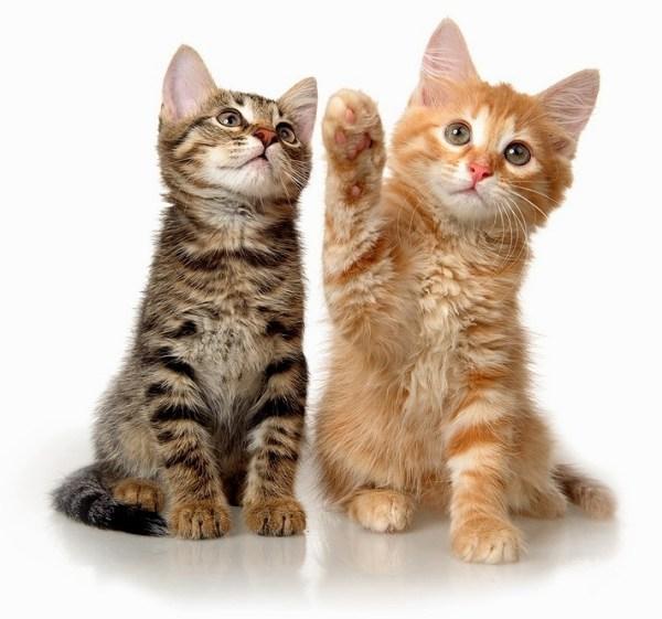 Кошки содержание и уход воспитание кошек психология и