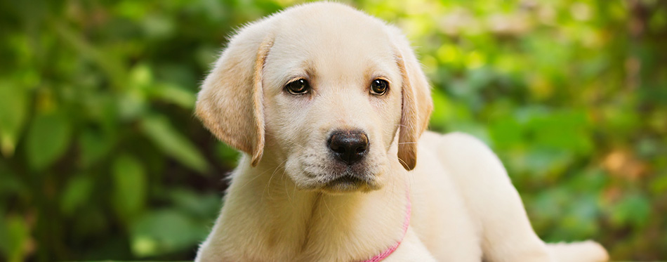Yellow lab puppy in the yard